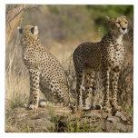 África. Kenia. Guepardos en Samburu NP Teja Ceramica