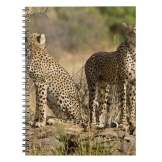 África. Kenia. Guepardos en Samburu NP Libretas Espirales