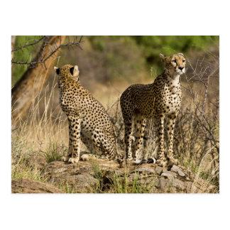 África. Kenia. Guepardos en Samburu NP Postal