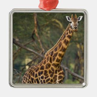 África. Kenia. La jirafa de Rothschild en el lago Ornamento De Reyes Magos