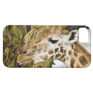 África. Kenia. La jirafa de Rothschild en el lago  iPhone 5 Cárcasas