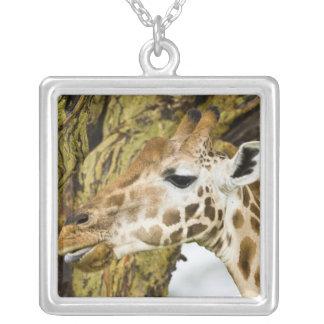 África Kenia La jirafa de Rothschild en el lago Grímpola