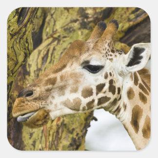 África. Kenia. La jirafa de Rothschild en el lago Pegatina Cuadrada