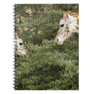África. Kenia. Las jirafas de Rothschild en el lag Notebook