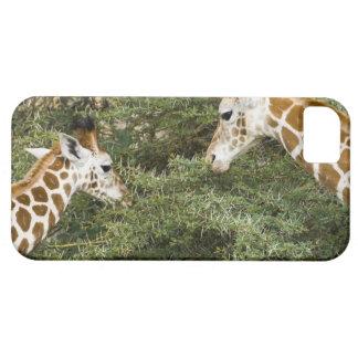 África. Kenia. Las jirafas de Rothschild en el lag iPhone 5 Carcasa