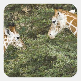 África. Kenia. Las jirafas de Rothschild en el Pegatina Cuadrada