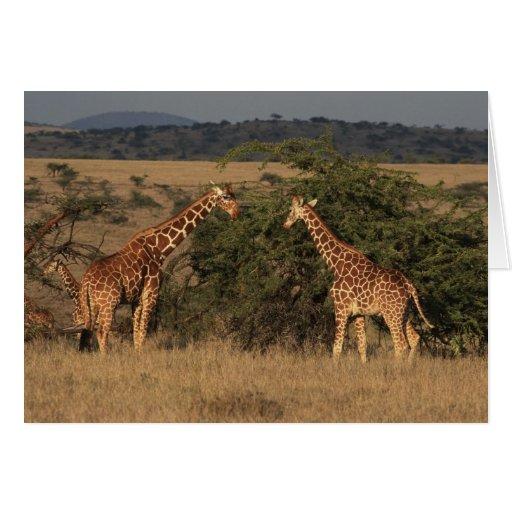 África, Kenia, Lewa traga, dos reticulados Tarjeta De Felicitación