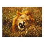 África, Kenia, Maasai Mara. León masculino. Tarjetas Postales