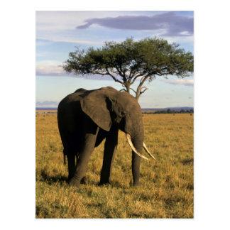 África, Kenia, Maasai Mara. Un elehpant en Postales