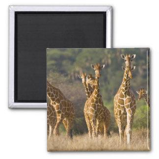 África. Kenia. Manada de jirafas reticuladas en Imán Cuadrado