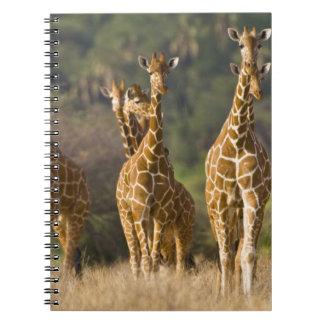África. Kenia. Manada de jirafas reticuladas en Libro De Apuntes