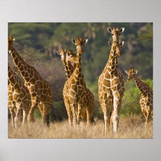 África. Kenia. Manada de jirafas reticuladas en Póster