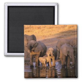 África, Kenia, Masai Mara. Elefantes (Loxodonta Imán Cuadrado