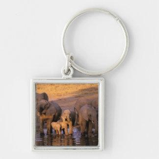 África, Kenia, Masai Mara. Elefantes (Loxodonta Llavero Cuadrado Plateado