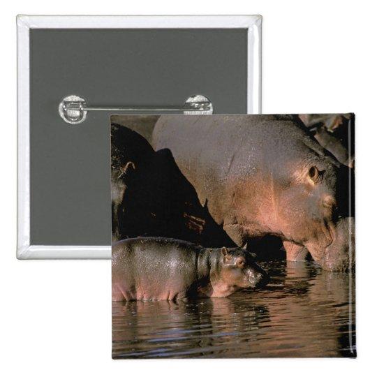 África, Kenia, Masai Mara. Hippopotamuses comunes Pin Cuadrado