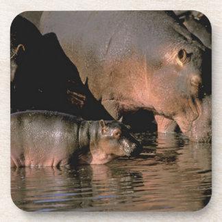 África, Kenia, Masai Mara. Hippopotamuses comunes Posavasos De Bebidas