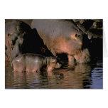 África, Kenia, Masai Mara. Hippopotamuses comunes Felicitacion