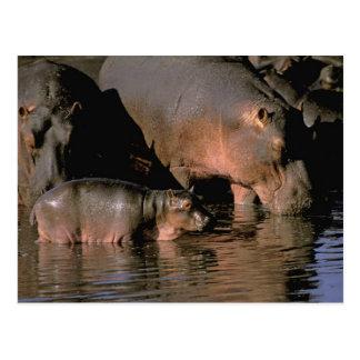 África, Kenia, Masai Mara. Hippopotamuses comunes Postales