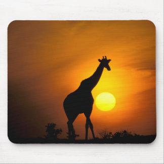 África, Kenia, Masai Mara. Jirafa (jirafa Alfombrillas De Raton