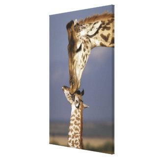 África, Kenia, Masai Mara. Jirafas (jirafa Impresión En Lona