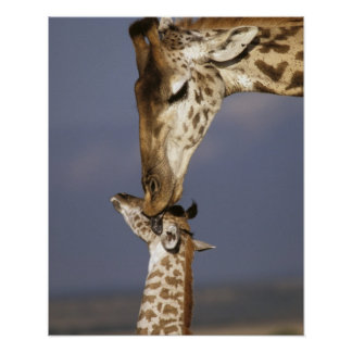 África, Kenia, Masai Mara. Jirafas (jirafa Posters