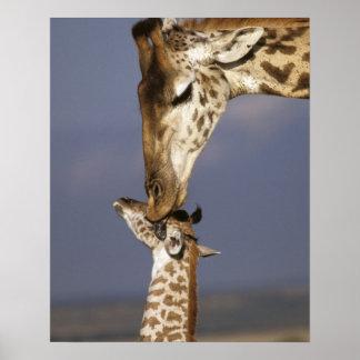 África, Kenia, Masai Mara. Jirafas (jirafa Póster