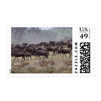 África, Kenia, Masai Mara. Manadas del Gazelle, Sello