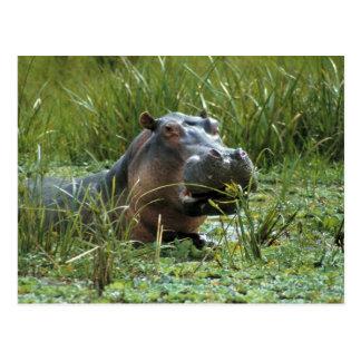 África, Kenia, Masai Mara NR. Un hipopótamo de la Postales