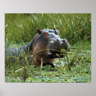 África, Kenia, Masai Mara NR. Un hipopótamo de la  Póster