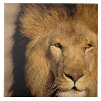 África, Kenia, Masai Mara. Varón del león (Panther Azulejo Cuadrado Grande