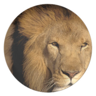 África, Kenia, Masai Mara. Varón del león (Panther Platos Para Fiestas