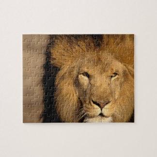 África, Kenia, Masai Mara. Varón del león (Panther Puzzle