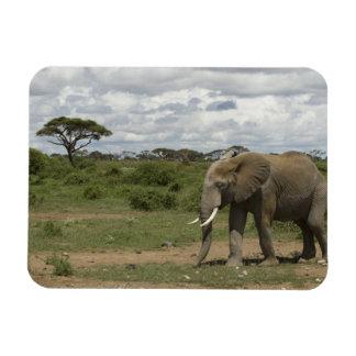 África Kenia parque nacional de Amboseli elefan Imán
