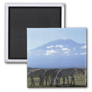 África, Kenia, parque nacional de Amboseli, manada Imán Cuadrado