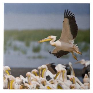África. Kenia. Pelícanos blancos en la orilla de Tejas Cerámicas