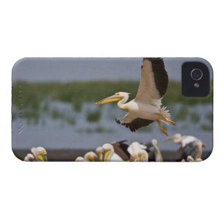 África. Kenia. Pelícanos blancos en la orilla de Case-Mate iPhone 4 Coberturas
