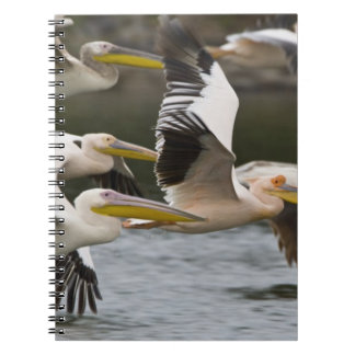 África. Kenia. Pelícanos blancos en vuelo en el la Libros De Apuntes Con Espiral