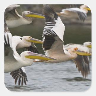 África. Kenia. Pelícanos blancos en vuelo en el Pegatina Cuadrada