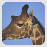 África, Kenia, reserva nacional de Samburu, Pegatina Cuadrada