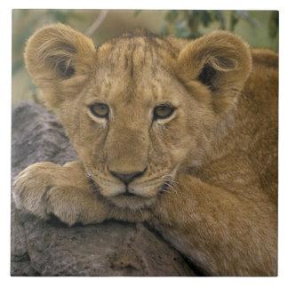 África, Kenia. Retrato de un león Azulejo Cuadrado Grande