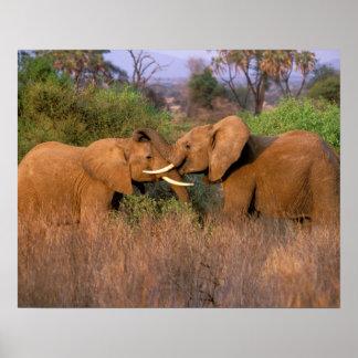 África, Kenia, Samburu. Desafío del elefante Poster