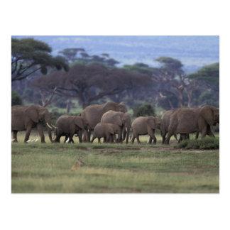 Africa, Kenya, Amboseli National Park. African 3 Postcard