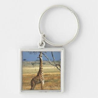 Africa, Kenya, Amboseli NP. A Common, or Masai, Keychain