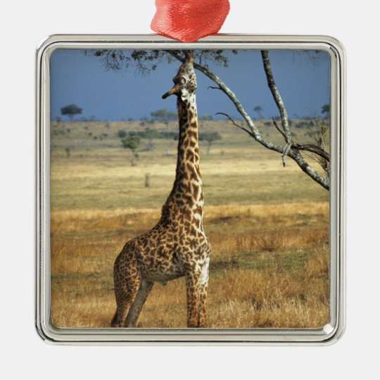 Africa, Kenya, Amboseli NP. A Common, or Masai, Metal Ornament