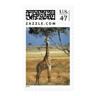 Africa, Kenya, Amboseli NP. A Common, or Masai, Postage