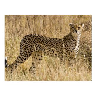 Africa. Kenya. Cheetah at Samburu NP. 2 Postcard