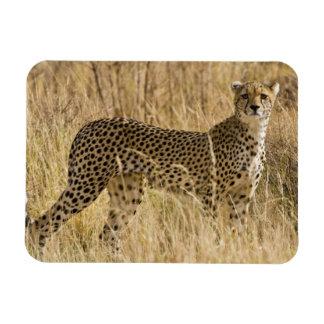 Africa. Kenya. Cheetah at Samburu NP. 2 Magnets