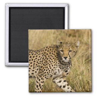 Africa. Kenya. Cheetah at Samburu NP. 3 Magnet