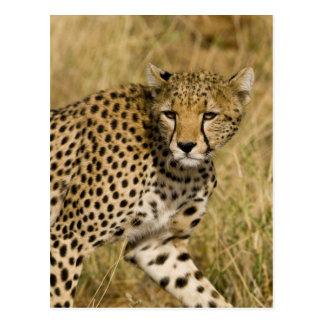 Africa. Kenya. Cheetah at Samburu NP. 3 Postcard