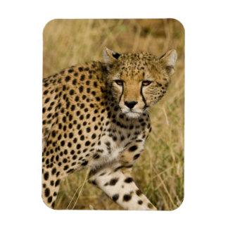 Africa. Kenya. Cheetah at Samburu NP. 3 Rectangle Magnets